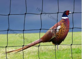 Knotted 38mm Pheasant Netting